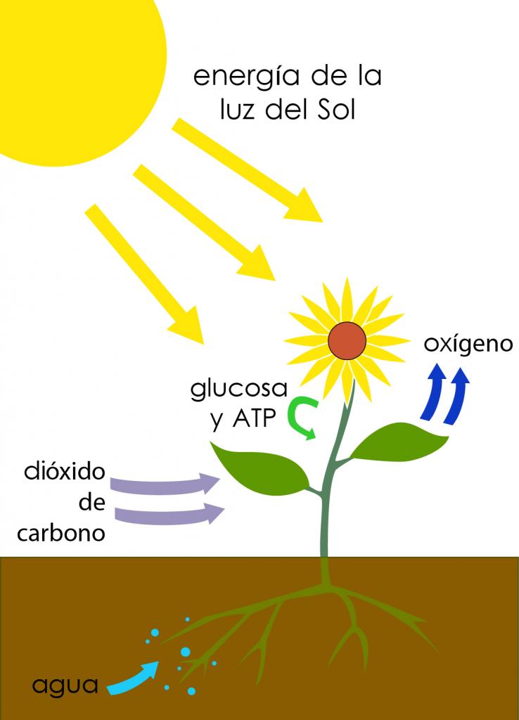 photosynthesis-es